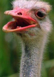 A young ostrich